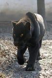 Jaguar (Pantheraonca) Royaltyfri Fotografi