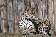 Jaguar Pantheraonca är en enorm söder - amerikanskt fä Arkivfoton