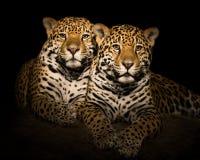 Jaguar para V Fotografia Royalty Free