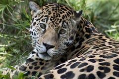 Jaguar passt Sie auf Lizenzfreie Stockfotografie