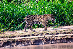 Jaguar on patrol Royalty Free Stock Photo