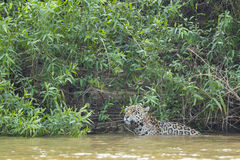 Wild Jaguar Pausing in the River Stock Image