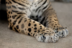 Jaguar Paws Royalty Free Stock Photography