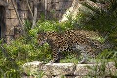 Jaguar pericoloso fotografia stock