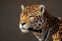 Jaguar portrait. Portrait of a male jaguar (Panthera onca Stock Photography