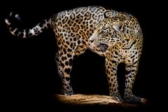Jaguar portrait Stock Photos