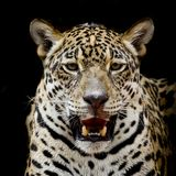 Jaguar portrait Royalty Free Stock Photos