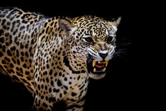Jaguar portrait Stock Images