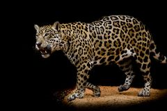 Jaguar portrait Royalty Free Stock Image