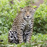 Jaguar portrait Royalty Free Stock Photo