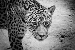 Jaguar portrait Royalty Free Stock Images