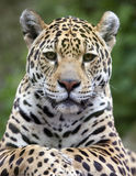 Jaguar Portrait Stock Photography