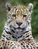 Jaguar Portrait Stock Photography
