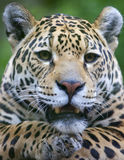 Jaguar Portrait Royalty Free Stock Photography