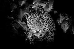 Jaguar portrait Royalty Free Stock Image