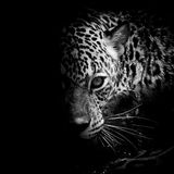 Jaguar portrait. Closeup animal wildlife black color background Stock Photo