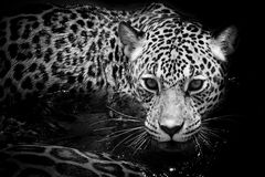 Jaguar portrait Stock Image