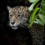 Jaguar portrait Royalty Free Stock Photography