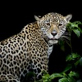 Jaguar portrait Stock Photo