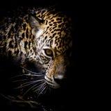 Jaguar portret Fotografia Royalty Free