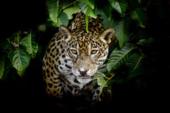 Jaguar portret Zdjęcia Royalty Free