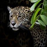 Jaguar-Portret Royalty-vrije Stock Fotografie