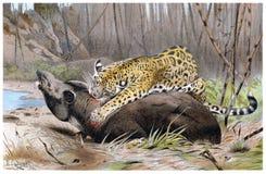 Jaguar Pounces on Tapir Stock Photos