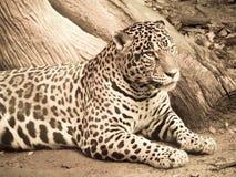 Jaguar processed in warm duotone Stock Images