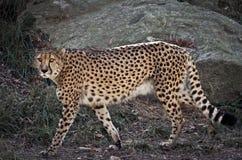 Jaguar on the Prowl. Jaguar walking in its zoo habitat Royalty Free Stock Photo