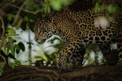 Jaguar prowling through forest framed by leaves Stock Photos