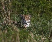 Jaguar przy odpoczynkiem Obraz Royalty Free
