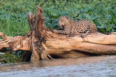Jaguar que afila sus garras imagen de archivo libre de regalías
