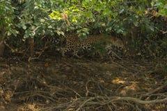 Jaguar que anda na máscara das árvores Fotos de Stock