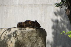 Jaguar que descansa en cautiverio Imagenes de archivo