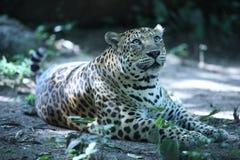 Jaguar que descansa na terra em Phnom Tamao Zoo Imagem de Stock