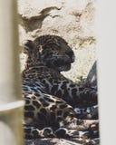 Jaguar que descansa no jardim zoológico de Miami imagem de stock