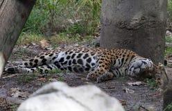Jaguar que descansa sob uma árvore fotografia de stock royalty free