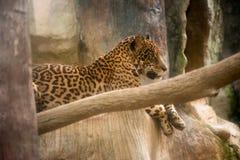 Jaguar que descansa sobre una roca Fotos de archivo libres de regalías