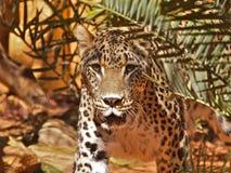 Jaguar que mira fijamente - parte 1 Imagen de archivo libre de regalías