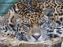 Jaguar que mira hacia fuera el mundo imagen de archivo libre de regalías