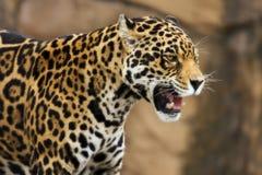 Jaguar que rosna imagem de stock royalty free