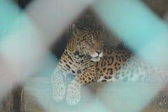 Jaguar que se sienta detrás de la jaula imagenes de archivo