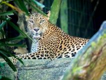 Jaguar relajante, retrato del primer fotografía de archivo libre de regalías