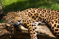Jaguar relaxing Royalty Free Stock Photos