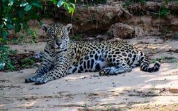 Jaguar relaxing on the beach Stock Photos