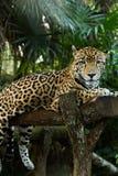 Jaguar relaxing on log closeup in jungle Stock Photos