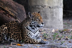 Jaguar Resting Royalty Free Stock Image