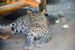 Jaguar resting on a beach. Jaguar, animal Royalty Free Stock Photography