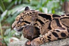 Jaguar Resting Royalty Free Stock Images