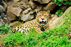 Jaguar resting after feeding Stock Photography